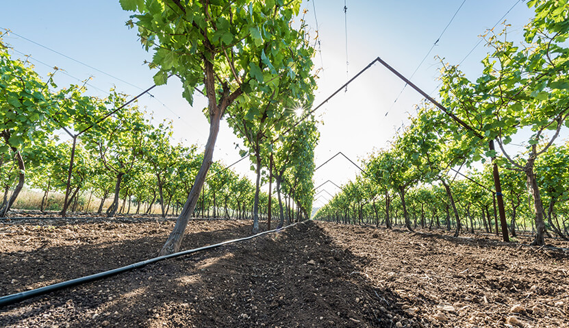 Irrigation in vineyards