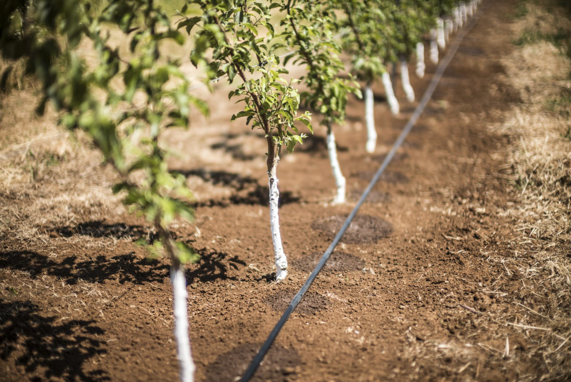 drip irrigation installation for orchards