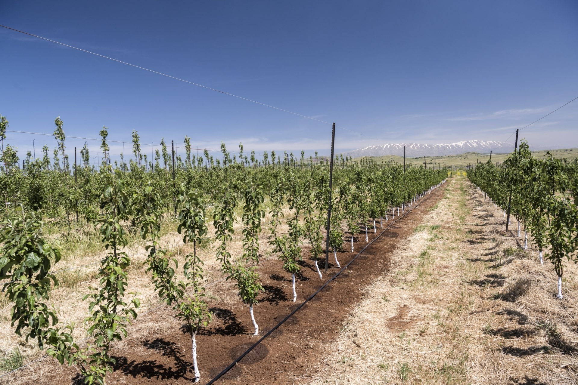 drip irrigation installation for pear orchards
